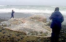 Polvo gigante com 12,40 metros de comprimento e 13 toneladas de peso